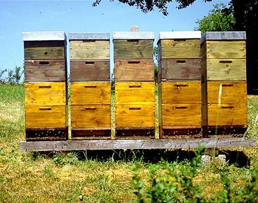 Since Then Hive Management Techniques Have Developed And Large Scale Commercial Beekeeping Started In The Early 1900s Buchmann 10
